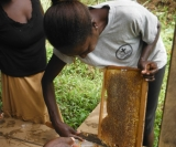 First honey harvest by Choiseul bee farmers